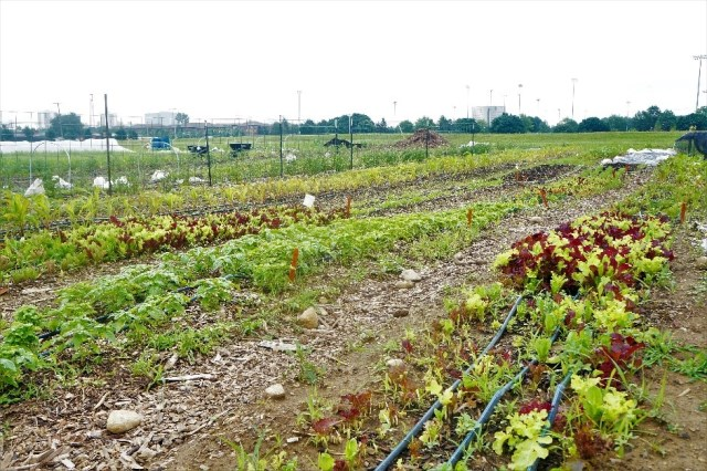 Crops growing at Ohio State's Sustainable Student Farm
